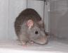 rats-017.jpg