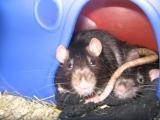 rats-009.jpg