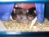 rats-010.jpg