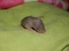 gustin_twiki_ratons_j8_femelles_mink_lisse