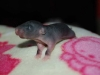gustin_twiki_ratons_j8_femelles_noire_irish_rex