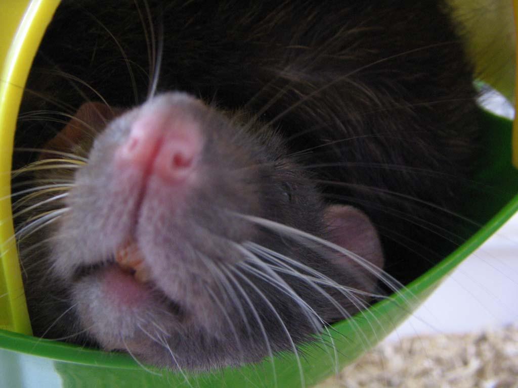 rats-001