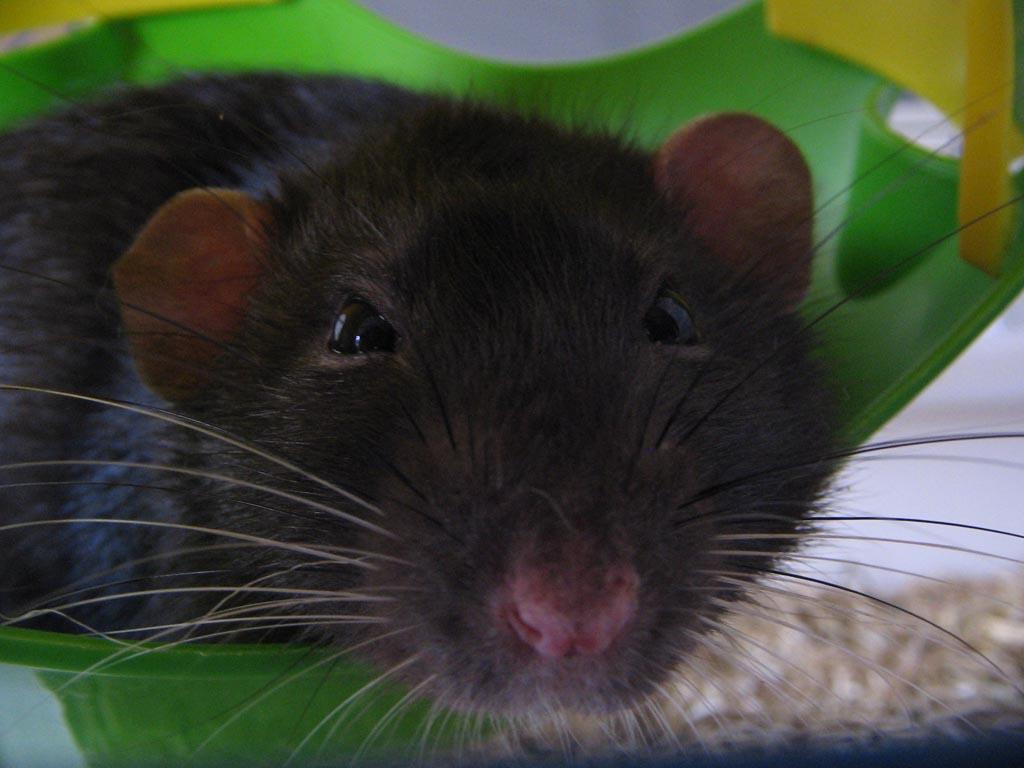 rats-018.jpg