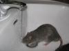 rats-035.jpg